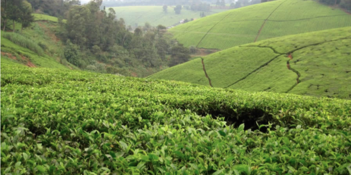 Maramba Tea Factory et Kiambethu tea Farm