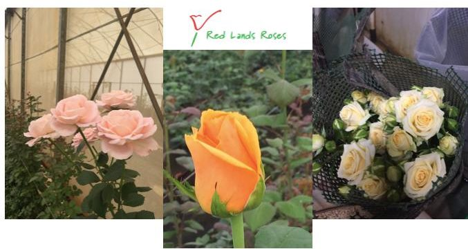 Sortie red land roses